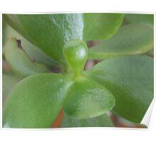 Jade houseplant Poster