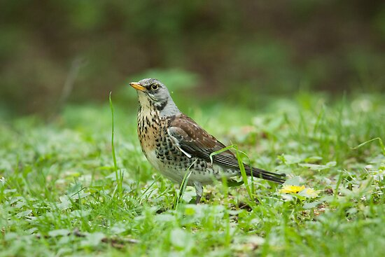 Fieldfare by Dominika Aniola