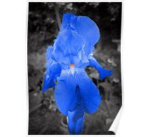 rare blue iris Poster