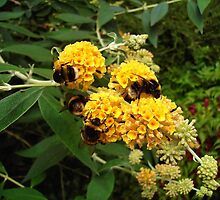 Bees and Buddleia by lezvee