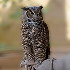 Great Horned Owl by KathleenRinker
