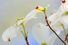 For The Love Of Spring......Arkansas Native Dog Wood. by NatureGreeting Cards ©ccwri