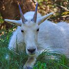 Shady Goat by JamesA1