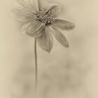 Lone Dahlia by Dianne English