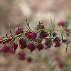 Boronia in Kings Park by kalaryder