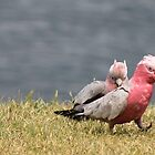 galahs...follow me...... by gaylene