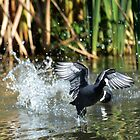 Eurasian Coot takes off by nadine henley