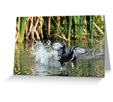 Eurasian Coot takes off Greeting Card