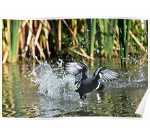 Eurasian Coot takes off Poster