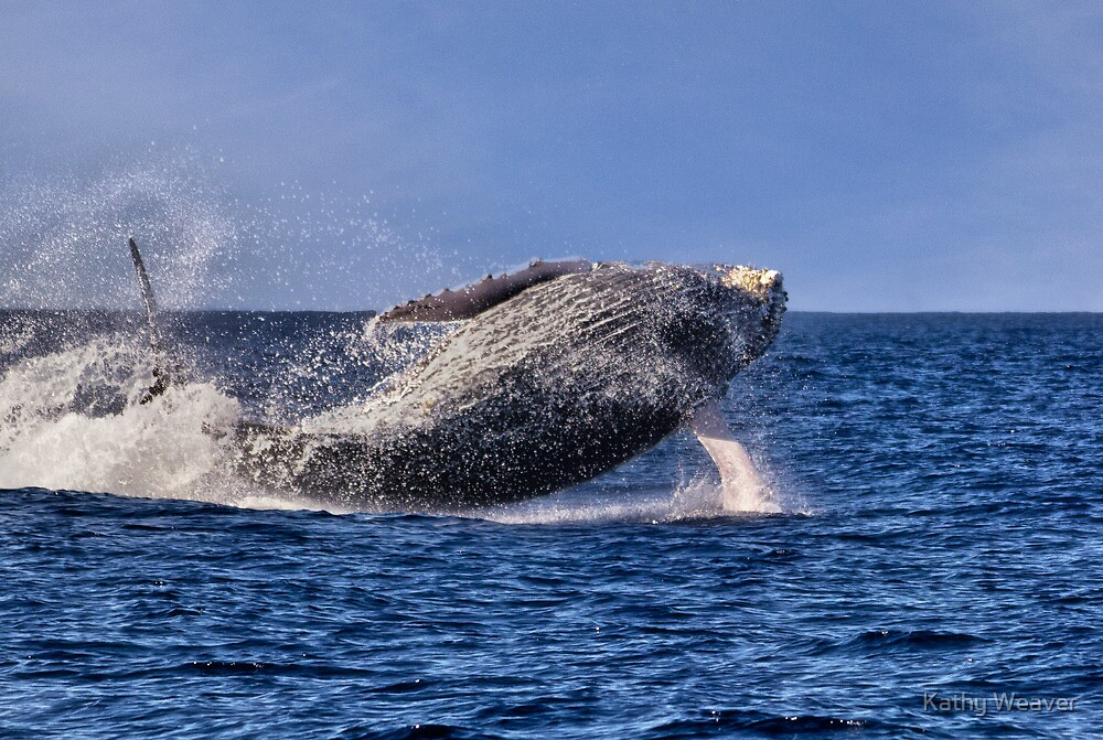 Humpback Whale by Kathy Weaver