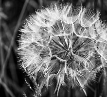 Black & White Dandelion seed head by Hugh McKean
