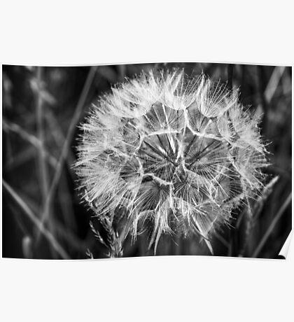 Black & White Dandelion seed head Poster