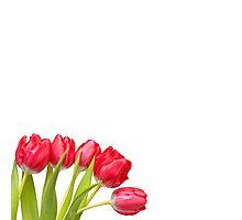 Humble Tulips.... Photographic Print