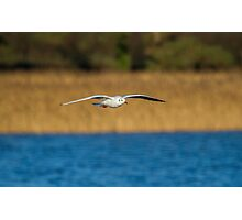 Black-Headed Gull - Chroicocephalus ridibundus Photographic Print