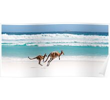 Kangaroos of Lucky Bay Poster