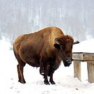 Bison by vette