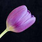 Single Tulip on Black Background by Empato Photography
