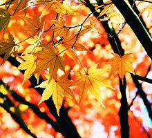 Japanese Maple Leaves by Sharon Woerner