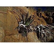 Snow Covered Agave Photographic Print