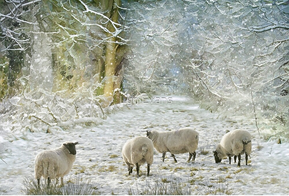 Winter sheep by Lyn Evans