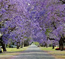 Jacaranda Delights: Kent St, Grafton, NSW by SunshineKaren