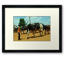 Herding his cows Framed Print