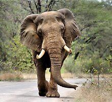 MAJESTIC BEAUTY - THE AFRICAN ELEPHANT – Loxodonta africana - AFRIKA OLIFANT by Magriet Meintjes