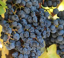 Grapes changing to rasins by 2Canons