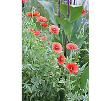 Poppies Abound Photographic Print
