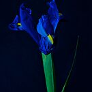 Blue Iris by Jeffrey  Sinnock