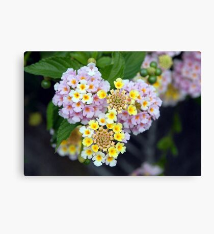 Tropical Plant Lantana Camara or West Indian Lantana Canvas Print