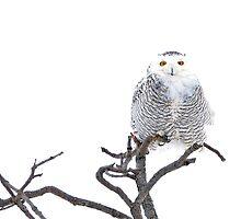 High Key Snowy Owl 4x6 by Heather Pickard