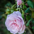 Pink rose, and a bud by 29Breizh33