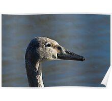 Trumpeter Swan Cygnet Poster