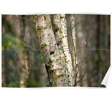 Silver Birch Tree in Woodland Poster