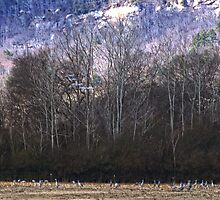 By the Thousands - Sandhill Cranes (Please view Large) by LarryB007
