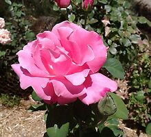 Roses in the garden before terrible heatwave. Mt. Pleasant S.A. by Rita Blom