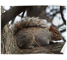 Squirrel Close-Up, Central Park, New York City Poster
