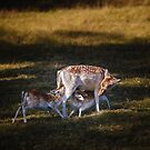 Deer with Fawns feeding by Manfred Belau