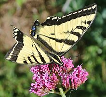 Swallowtail #1 by mantouarty