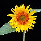 Sunflower by fantasytripp