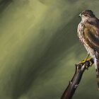 Red Tailed Hawk by Brittany LeBold
