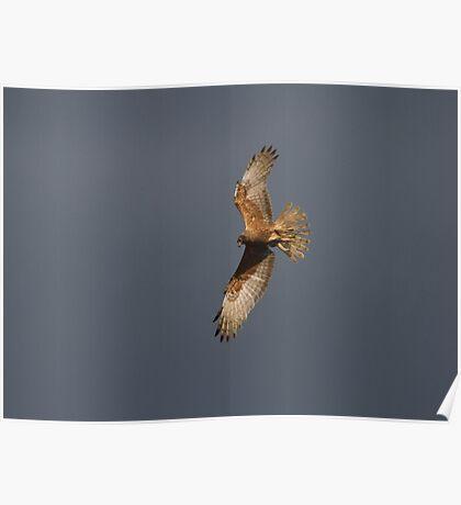 Beautiful Harrier Poster