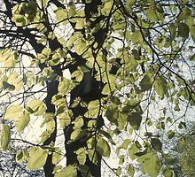 Towering beech tree in spring by intensivelight