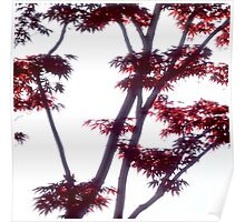 Japanese maple with red leaves Poster