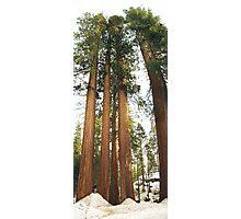 Sequoias Photographic Print