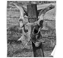 cow's pelvic bones hung on a fencepost Poster