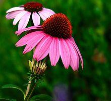 Coneflower by NatureGreeting Cards ©ccwri