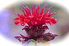 Bee Balm by NatureGreeting Cards ©ccwri