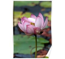 Lotus Ready To open Poster